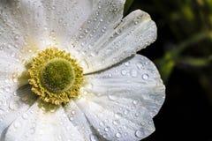 Flor blanca de la anémona con descensos de rocío Fotografía de archivo