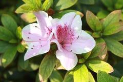 Flor blanca de la azalea Imagen de archivo libre de regalías