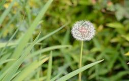 Flor blanca de la bola Fotografía de archivo