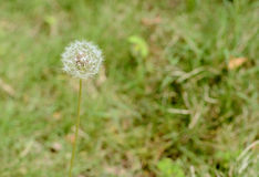 Flor blanca de la bola Fotos de archivo