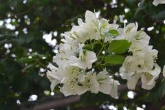 Flor blanca de la buganvilla Imagen de archivo