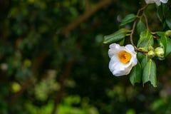 Flor blanca de la camelia en la rama de árbol foto de archivo libre de regalías