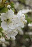 Flor blanca de la cereza Foto de archivo libre de regalías