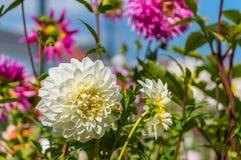 Flor blanca de la dalia Imagenes de archivo