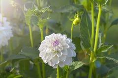Flor blanca de la dalia Imágenes de archivo libres de regalías