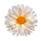 Flor blanca de la dalia con el centro amarillo aislado Imagen de archivo libre de regalías