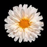 Flor blanca de la dalia con el centro amarillo aislado Foto de archivo libre de regalías
