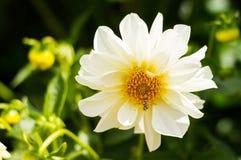 Flor blanca de la dalia del jardín que florece en el jardín Imagen de archivo libre de regalías