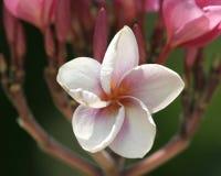 Flor blanca de la estrella Foto de archivo libre de regalías