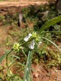 flor blanca de la flor del tumbe Fotografía de archivo libre de regalías
