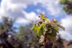 Flor blanca de la frambuesa salvaje en el arbusto en el bosque Imágenes de archivo libres de regalías