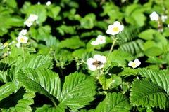 Flor blanca de la fresa polinizada por una abeja en tiempo caliente Foto de archivo