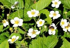 Flor blanca de la fresa polinizada por una abeja en tiempo caliente Imagenes de archivo