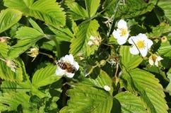 Flor blanca de la fresa, una abeja polinizada Fotos de archivo libres de regalías