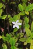 Flor blanca de la fruta cítrica en el jardín imagen de archivo libre de regalías