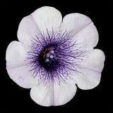 Flor blanca de la gloria de mañana con el centro púrpura Imágenes de archivo libres de regalías