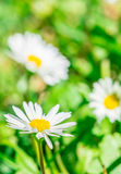 Flor blanca de la hierba en el jardín Imagen de archivo