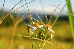 Flor blanca de la hierba y flor blanca en el jardín Imagenes de archivo