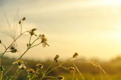 Flor blanca de la hierba y flor blanca en el jardín Fotografía de archivo libre de regalías