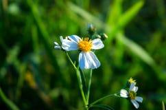 Flor blanca de la hierba y flor blanca en el jardín Fotografía de archivo