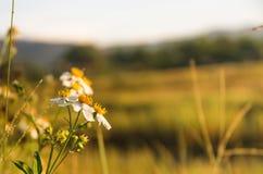 Flor blanca de la hierba y flor blanca en el jardín Foto de archivo