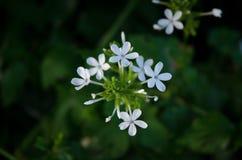 Flor blanca de la hierba y flor blanca en el jardín Imagen de archivo libre de regalías