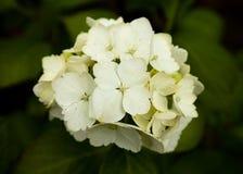 Flor blanca de la hortensia Fotos de archivo libres de regalías