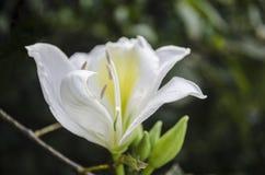 Flor blanca de la mañana imponente imagen de archivo