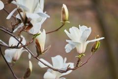 Flor blanca de la magnolia Imagenes de archivo