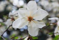 Flor blanca de la magnolia Imagen de archivo libre de regalías