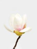 Flor blanca de la magnolia foto de archivo libre de regalías