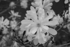 Flor blanca de la magnolia en blanco y negro Imágenes de archivo libres de regalías