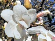 Flor blanca de la magnolia, pureza Foto de archivo libre de regalías
