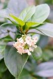 Flor blanca de la mala hierba de cocodrilo Fotos de archivo