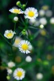 Flor blanca de la manzanilla con selectivo centrado en el backgr de la falta de definición Imagen de archivo libre de regalías