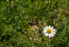 Flor blanca de la manzanilla en fondo verde Foto de archivo