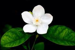 flor blanca de la naturaleza Fotos de archivo libres de regalías