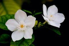 flor blanca de la naturaleza Fotografía de archivo libre de regalías