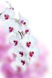 Flor blanca de la orquídea Foto de archivo