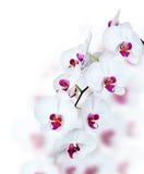 Flor blanca de la orquídea Fotos de archivo
