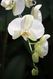 Flor blanca de la orquídea stock de ilustración