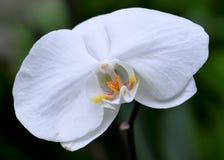 Flor blanca de la orquídea Fotografía de archivo libre de regalías