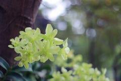 Flor blanca de la orquídea en el fondo de la falta de definición del jardín, falta de definición de la flor blanca Foto de archivo libre de regalías
