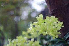 Flor blanca de la orquídea en el fondo de la falta de definición del jardín, falta de definición de la flor blanca Imágenes de archivo libres de regalías