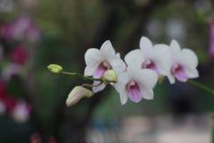 Flor blanca de la orquídea en el fondo de la falta de definición del jardín, falta de definición de la flor blanca Fotos de archivo libres de regalías