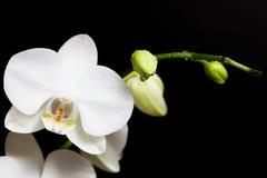 Flor blanca de la orquídea en la floración Imagen de archivo