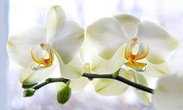 Orquídea blanca Imagenes de archivo