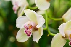 Flor blanca de la orquídea en naturaleza tropical del bosque Fotografía de archivo libre de regalías