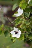 Flor blanca de la orquídea nevada Imagen de archivo