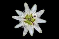 Flor blanca de la pasión Fotos de archivo